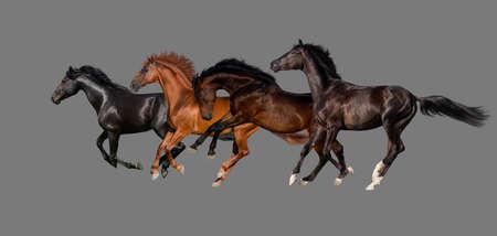 free running: Horses isolated on grey background Stock Photo