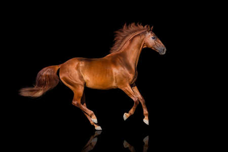 Handsome red horse run gallop on black background Stockfoto