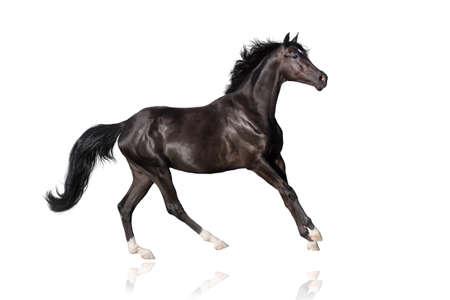 corse di cavalli: Bella Black Stallion eseguito galoppo su bianco