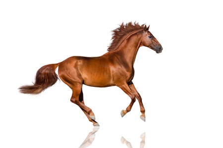 Handsome red horse with long mane run gallop