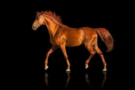 caballo: Trota Caballo rojo sobre fondo negro Foto de archivo