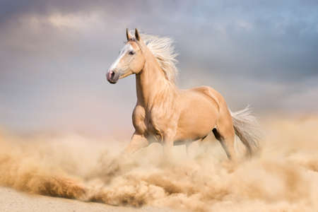 Palomino horse with long blond male run in desert Banque d'images