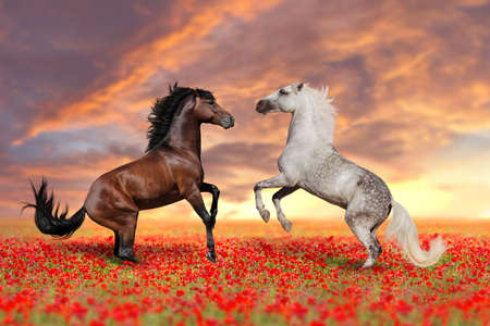 Two stallion rearing up in poppy 스톡 콘텐츠