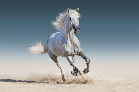 White horse run gallop Archivio Fotografico