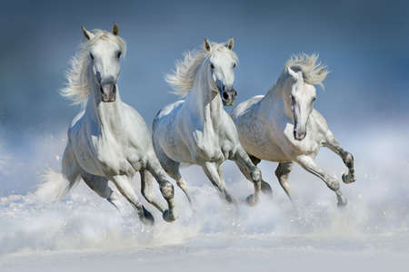 Three white horse run gallop in snow Фото со стока