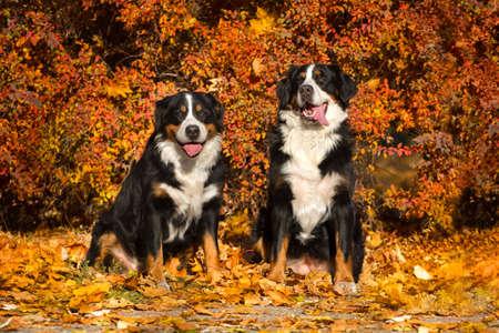 bernese dog: Two bernese dog sit in orange leaves in park