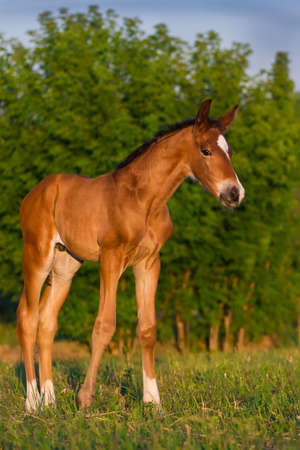colt: Bay newborn colt in the meadow