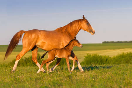 Mare with colt in beautiful field Stock Photo