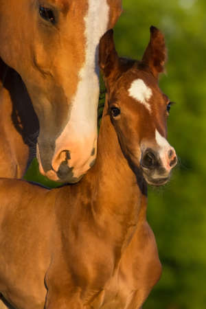 Portrait mare with colt at sunrise Imagens