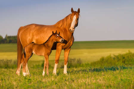 Mare with colt in beautiful field