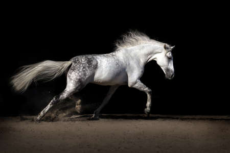 White horse with long mane in desert dust trotting