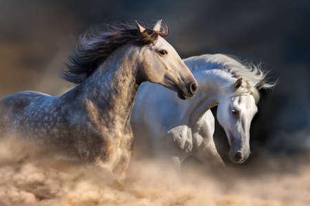 Coppia di cavalli correre in polvere alla luce del tramonto Archivio Fotografico - 50581356