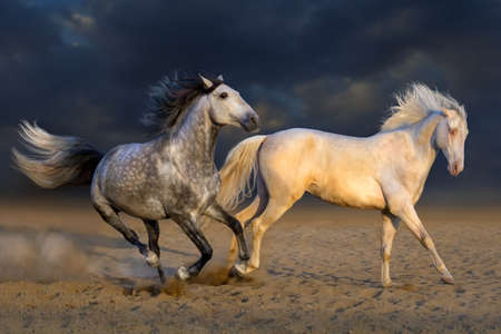horse andalusian horses: Two horse play in desert against dramatic sky