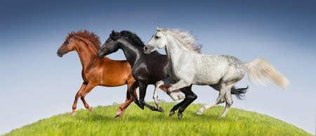 appaloosa: Horses run gallop on green pasture against beautiful sky