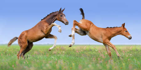 Two foals play