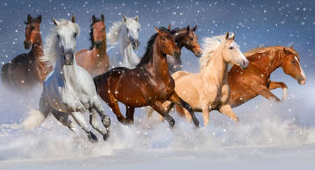 horses in field: Horse herd run fast in winter snow field Stock Photo