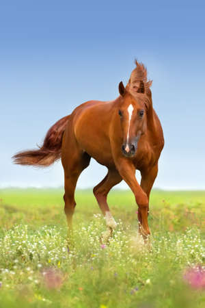 Red stallion run in flowers Imagens - 50581365