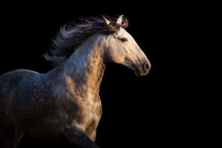 White horse with long mane run at sunset light on black background