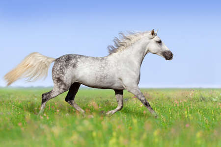 White horse trotting on summer meadow Stock Photo