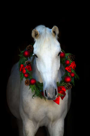 Christmas image of a white horse wearing a wreath and a bow on black background Imagens