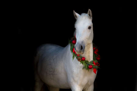 Christmas image of a white horse wearing a wreath and a bow on black background Stockfoto