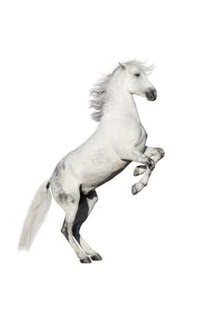 白い馬を育てる、白い背景で隔離