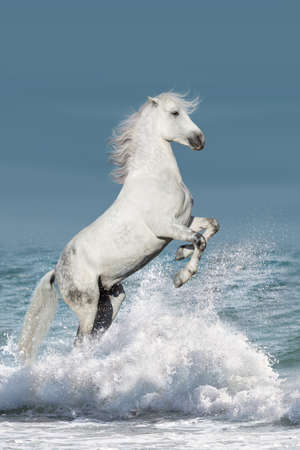 White stallion rearing up in waves in the ocean