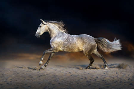 draft horse: White andalusian horse run gallop in sand dast at sunset Stock Photo