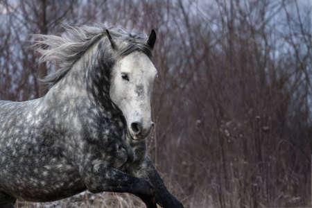 trotter: Grey orlov trotter portrait at winter cold day