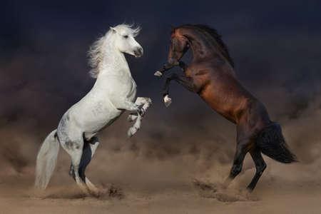 Two horses rearing up in desert dust Stockfoto