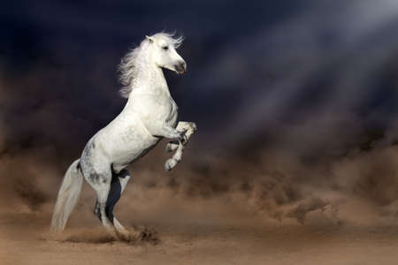 desert storm: Grey andalusian horse rearing up in desert storm
