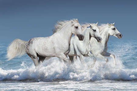 Troupeau de chevaux courir au galop dans les vagues dans l'océan Banque d'images - 52310597