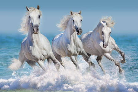 Horse herd run gallop in waves in the ocean