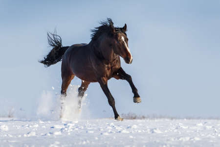 rearing: Beautiful stallion rearing up and jump in snow