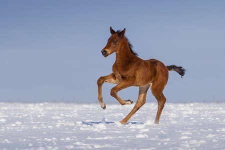 Colt run gallop in snow field