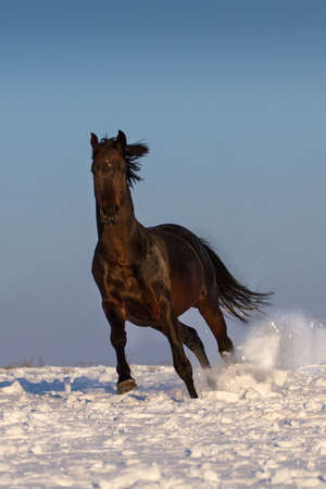 horse in snow: Bay horse run in snow
