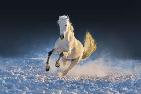 Biały koń prowadzony w śniegu na zachodzie słońca