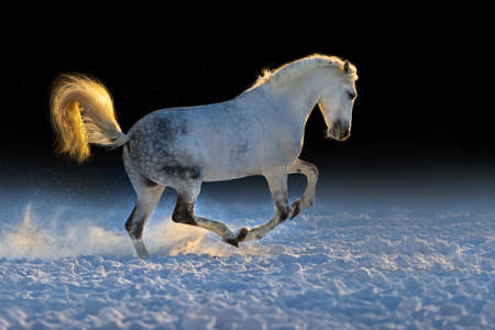 horse in snow: White horse run in snow at sunset
