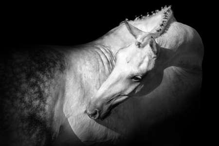 White horse isolated on black background
