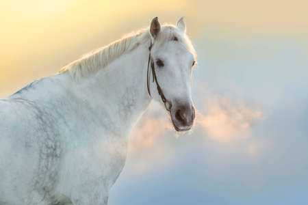 White stallion portrait in motion with steam from the nostrils against sunset sky