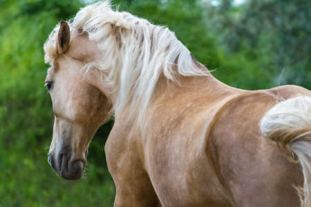 mane: Palomino horse with long blond mane run gallop Stock Photo