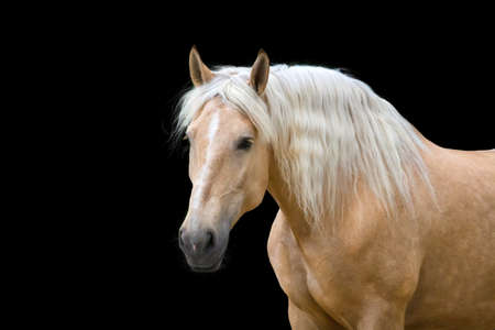 Palomino horse with long blond mane run gallop Stock Photo