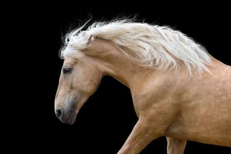 at close quarters: Palomino horse with long blond mane run gallop Stock Photo