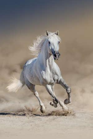 Biały koń z długą grzywą biegnie w pustynnym kurzu Zdjęcie Seryjne