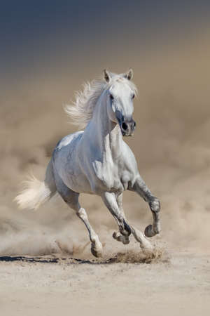 White horse with long mane run in desert dust