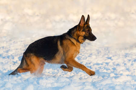 dog run: German shepherd dog run in snow Stock Photo