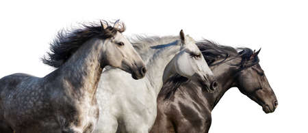 Horse herd portrait run gallop isolated on white background