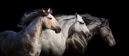 黒い背景に分離したギャロップを実行馬群れ肖像画