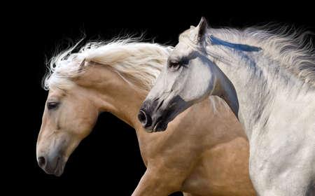 Paardkudde portret run galop geïsoleerd op een zwarte achtergrond
