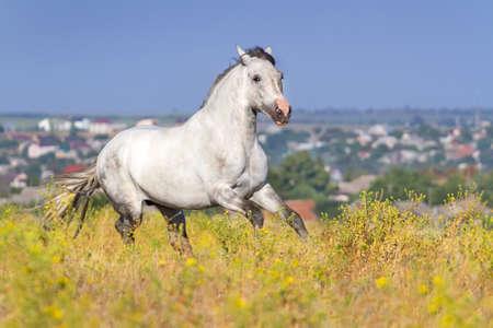 horse andalusian horses: Grey stallion run gallop